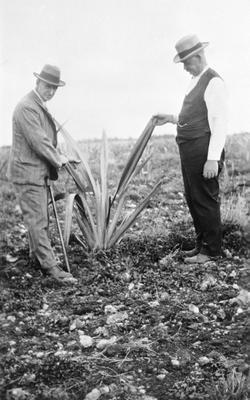 Flax growing - Gordonton - A W Chapman