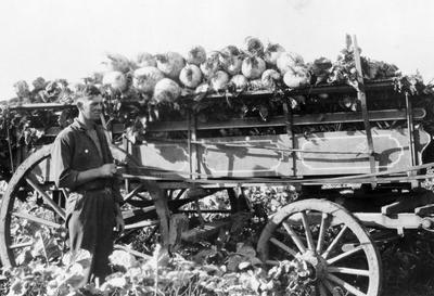 Gordonton - turnips grown by A W Chapman