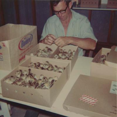 Murray Powell checking pheasant chicks