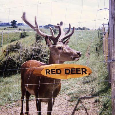 Red deer in enclosure