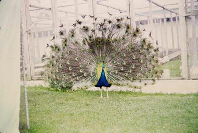 Peacock in front of bird enclosures