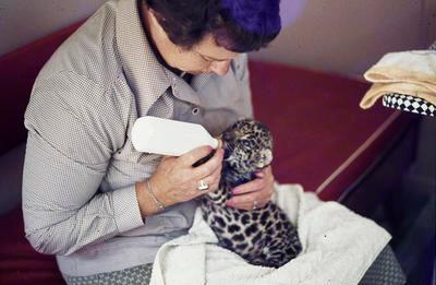 Gloria Powell feeding leopard cub