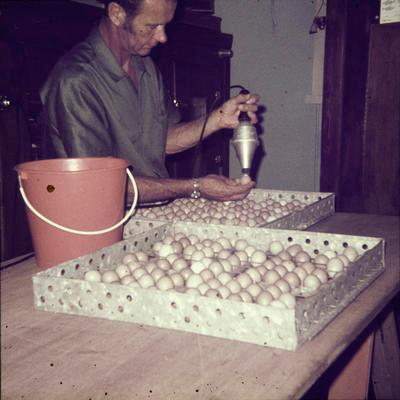 Hilldale - checking pheasant eggs (Murray Powell)