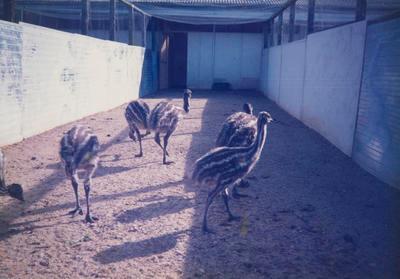 Birds in pen
