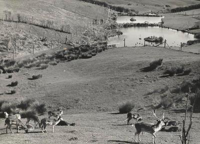 Black and white of deer in paddock looking across wild fowl ponds