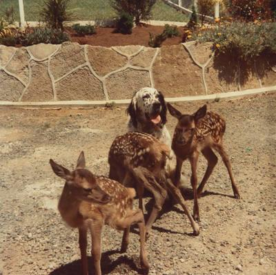 Dog and three fawns in front garden (house)