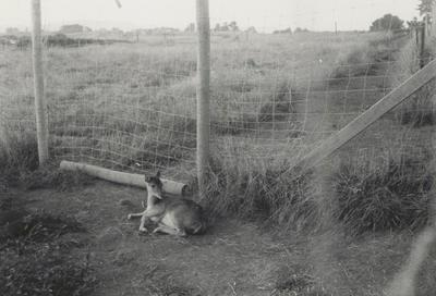 Black and white of young deer in enclosure