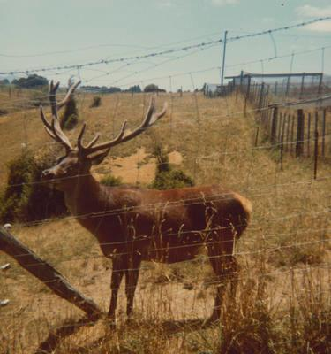 Young stag through fence
