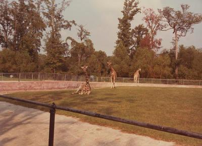 Giraffes in large enclosure