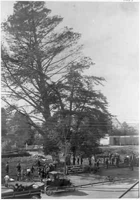 """Felling a pine tree at """"The Lodge"""" in Victoria Street, Hamilton"""