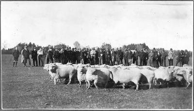 Sheep herding demonstration at the Ruakura Fieldays