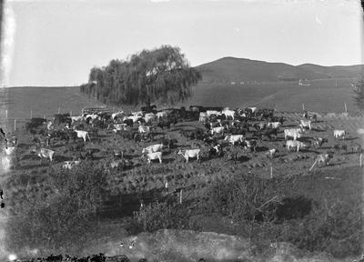 Dairy cattle in holding paddock near Raglan.
