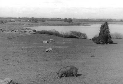 Lake Areare and pigs