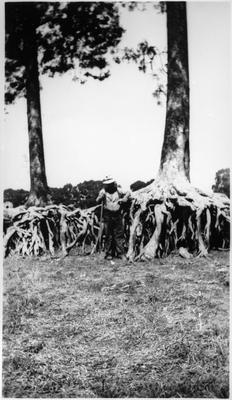 Kahikatea trees