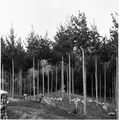 Ellis and Burnand pine forests - Putaruru (NZFP)