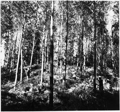 Ellis and Burnand pine forests - Putaruru