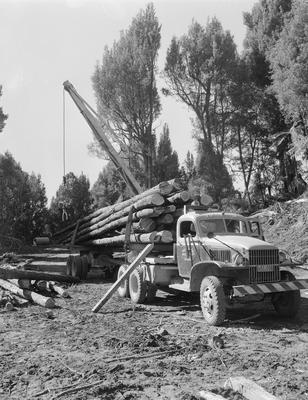 Logging activities in a pine forest