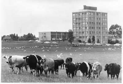 Stock grazing - main building Ruakura