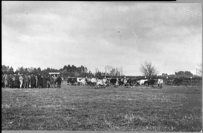 Farmers studying cattle grazing, Ruakura