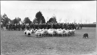 Sheep rounding up demonstration, Ruakura
