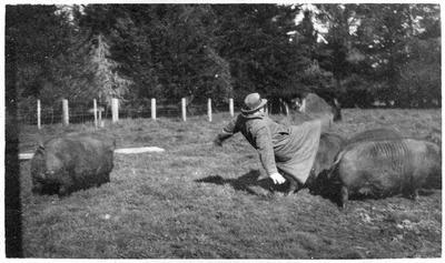 Rounding up of pigs, Ruakura