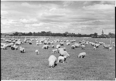 Sheep grazing - Ruakura
