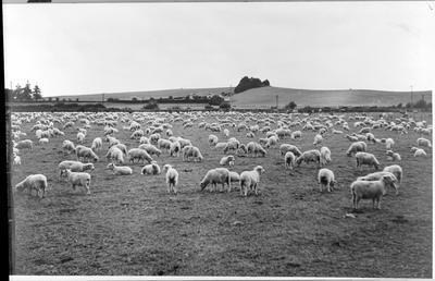 Dr McMeekan's house - sheep grazing
