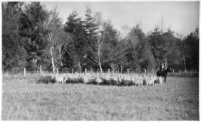 Flock of ewes