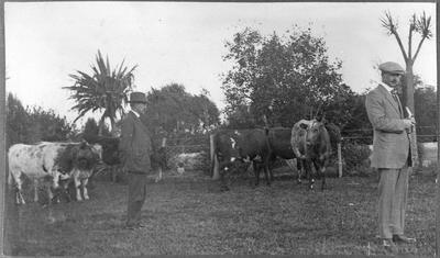 Alf Green observing Shorthorn herd