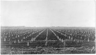 Flax plantation - not Ruakura