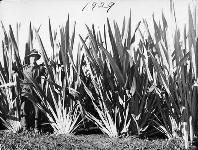 Flax bushes
