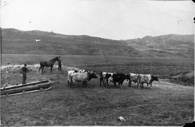 Bullock team hauling kauri