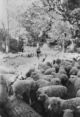 Treelined avenue and sheep