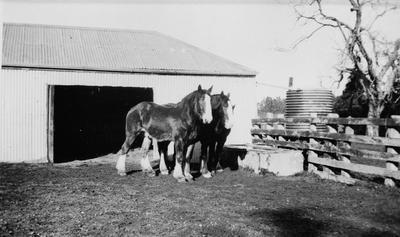 Horses in yard