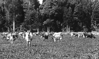 Jersey Herd