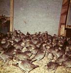 """Hilldale - """"3 week poults"""" - pheasants"""