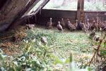 Hilldale - partridges in pen