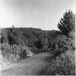 Ellis and Burnand pine forests - Putaruru