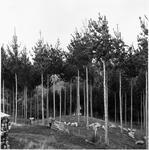Ellis and Burnand pine forests - Putaruru (NZFP)